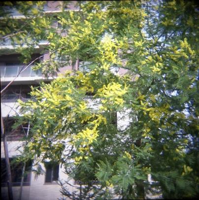 mimoza.jpg